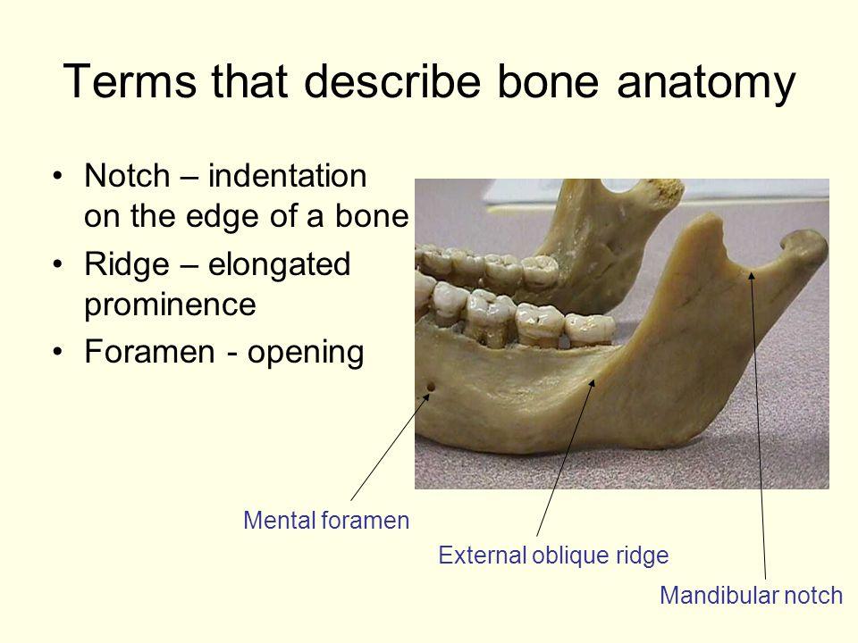 Terms that describe bone anatomy Notch – indentation on the edge of a bone Ridge – elongated prominence Foramen - opening Mental foramen External obli