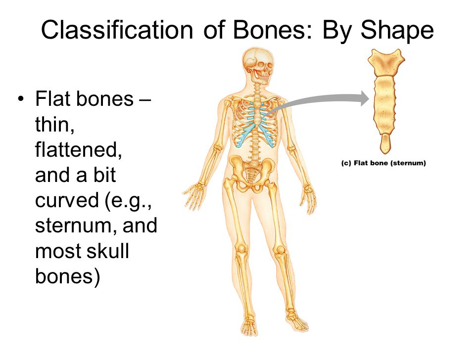 Classification of Bones: By Shape Flat bones – thin, flattened, and a bit curved (e.g., sternum, and most skull bones)