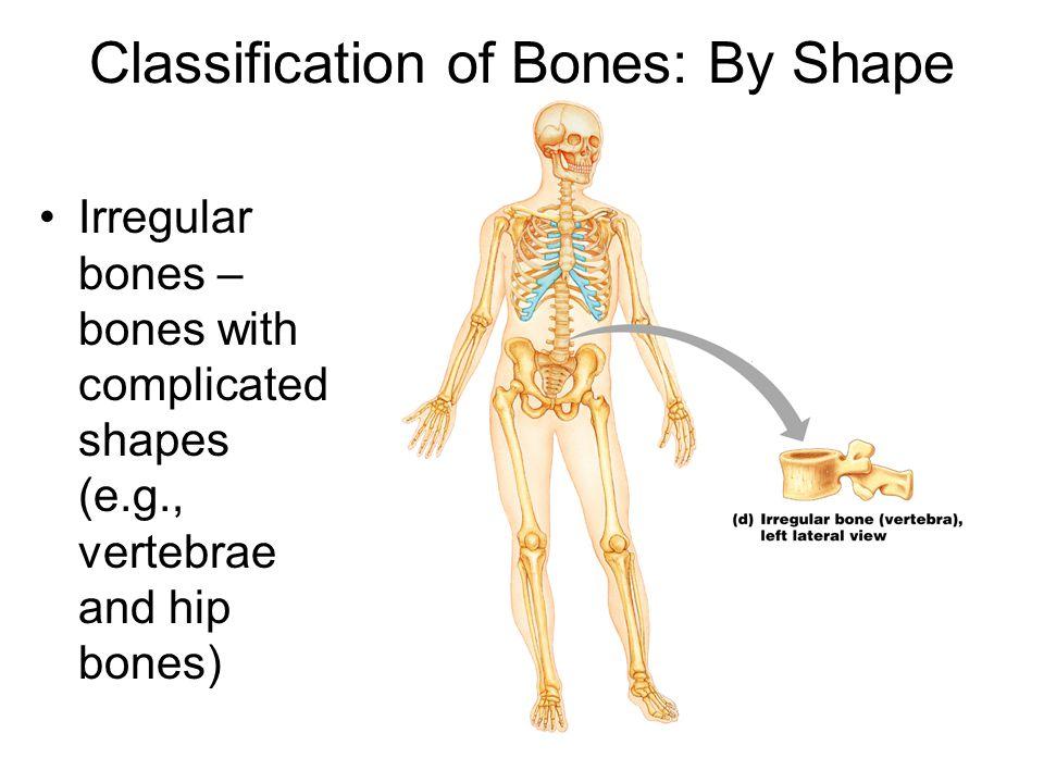 Classification of Bones: By Shape Irregular bones – bones with complicated shapes (e.g., vertebrae and hip bones)