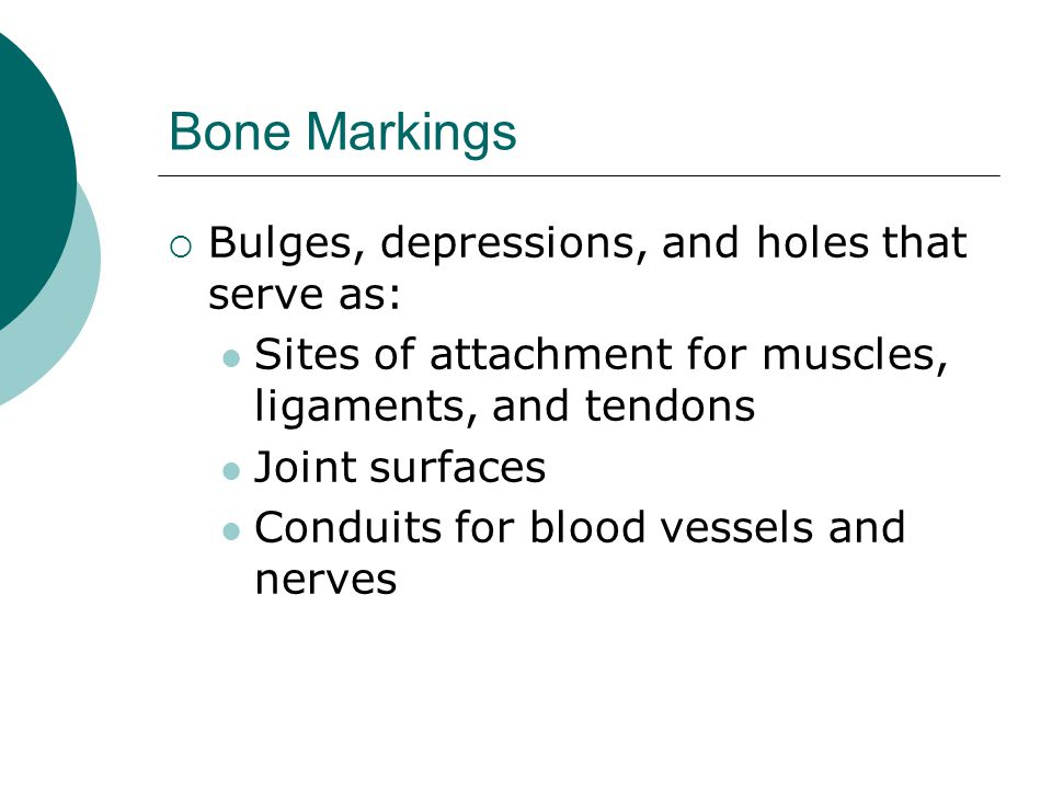Bone Markings  Bulges, depressions, and holes that serve as: Sites of attachment for muscles, ligaments, and tendons Joint surfaces Conduits for bloo