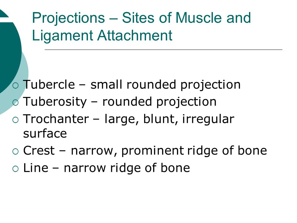 Projections – Sites of Muscle and Ligament Attachment  Tubercle – small rounded projection  Tuberosity – rounded projection  Trochanter – large, bl