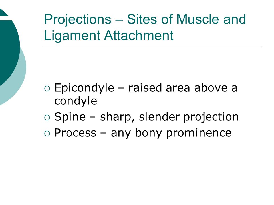  Epicondyle – raised area above a condyle  Spine – sharp, slender projection  Process – any bony prominence Projections – Sites of Muscle and Ligam