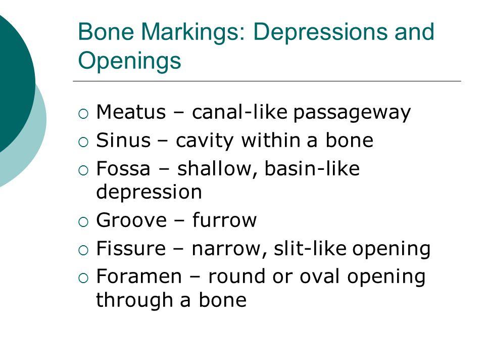 Bone Markings: Depressions and Openings  Meatus – canal-like passageway  Sinus – cavity within a bone  Fossa – shallow, basin-like depression  Gro