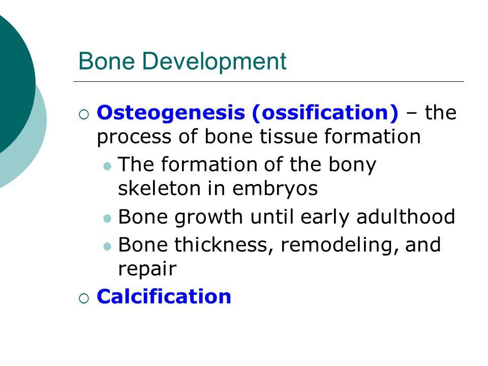 Bone Development  Osteogenesis (ossification) – the process of bone tissue formation The formation of the bony skeleton in embryos Bone growth until