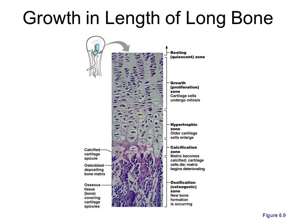 Growth in Length of Long Bone Figure 6.9