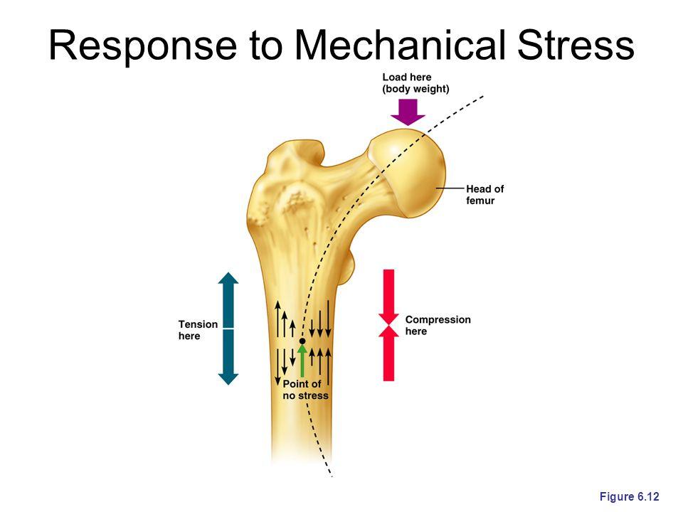 Response to Mechanical Stress Figure 6.12