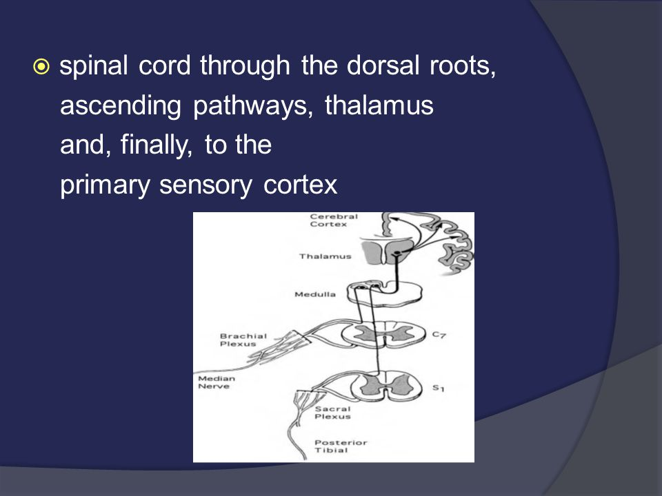  spinal cord through the dorsal roots, ascending pathways, thalamus and, finally, to the primary sensory cortex