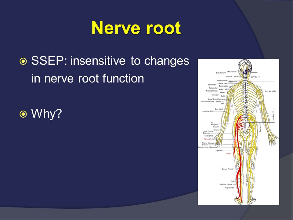 Nerve root  SSEP: insensitive to changes in nerve root function  Why?
