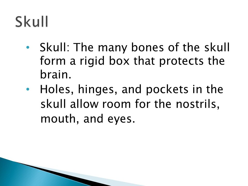 Skull: The many bones of the skull form a rigid box that protects the brain.