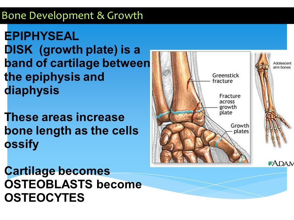 Bone Development & Growth EPIPHYSEAL DISK (growth plate) is a band of cartilage between the epiphysis and diaphysis These areas increase bone length a