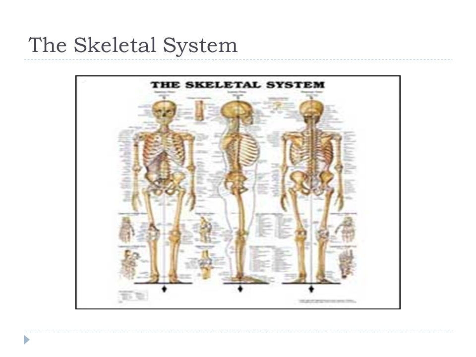 Ossification of Long Bones  Ossification of long bones occurs as bone tissue replaces cartilage.
