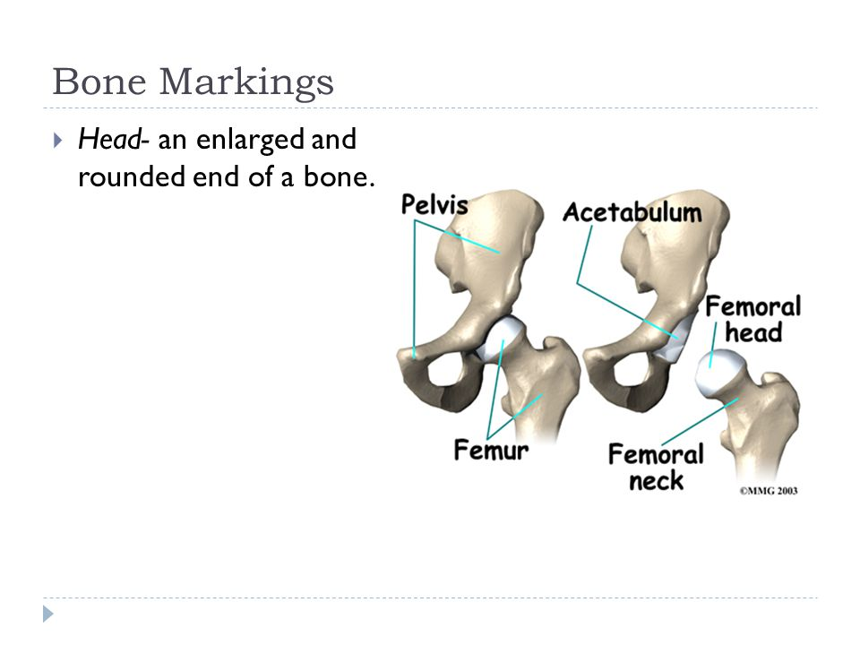 Bone Markings  Head- an enlarged and rounded end of a bone.