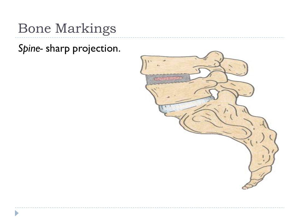 Bone Markings Spine- sharp projection.