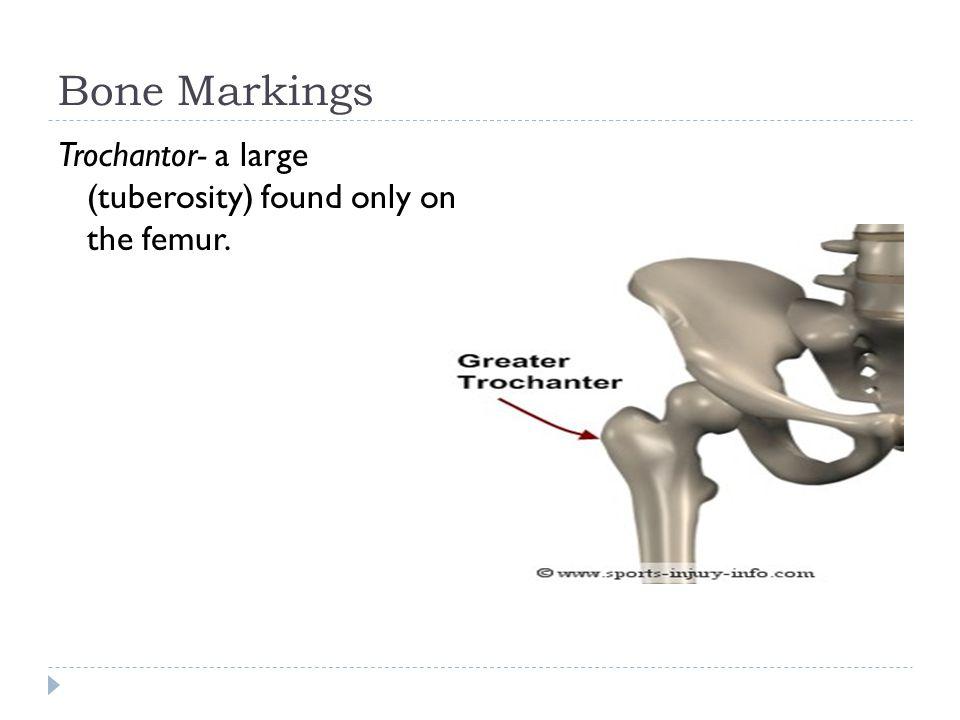 Bone Markings Trochantor- a large (tuberosity) found only on the femur.