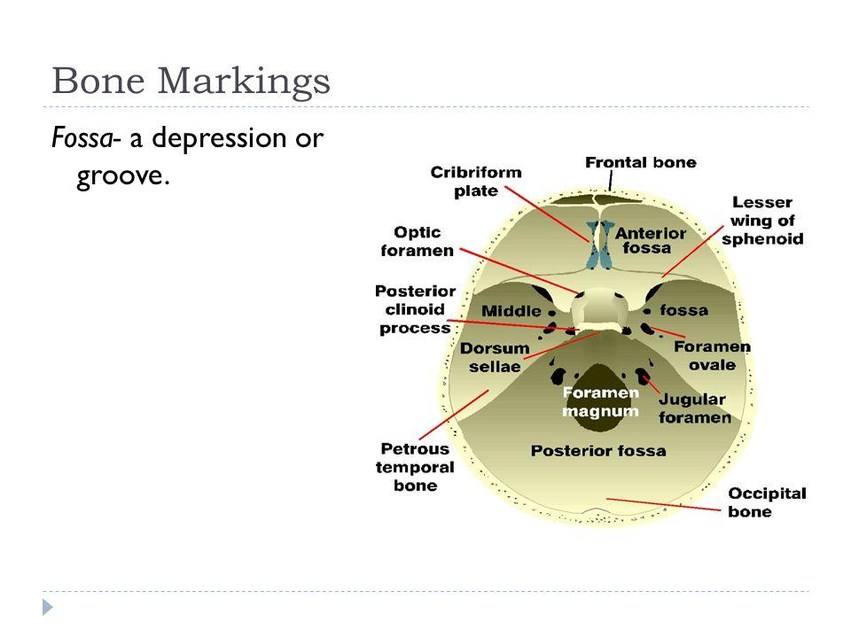Bone Markings Fossa- a depression or groove.