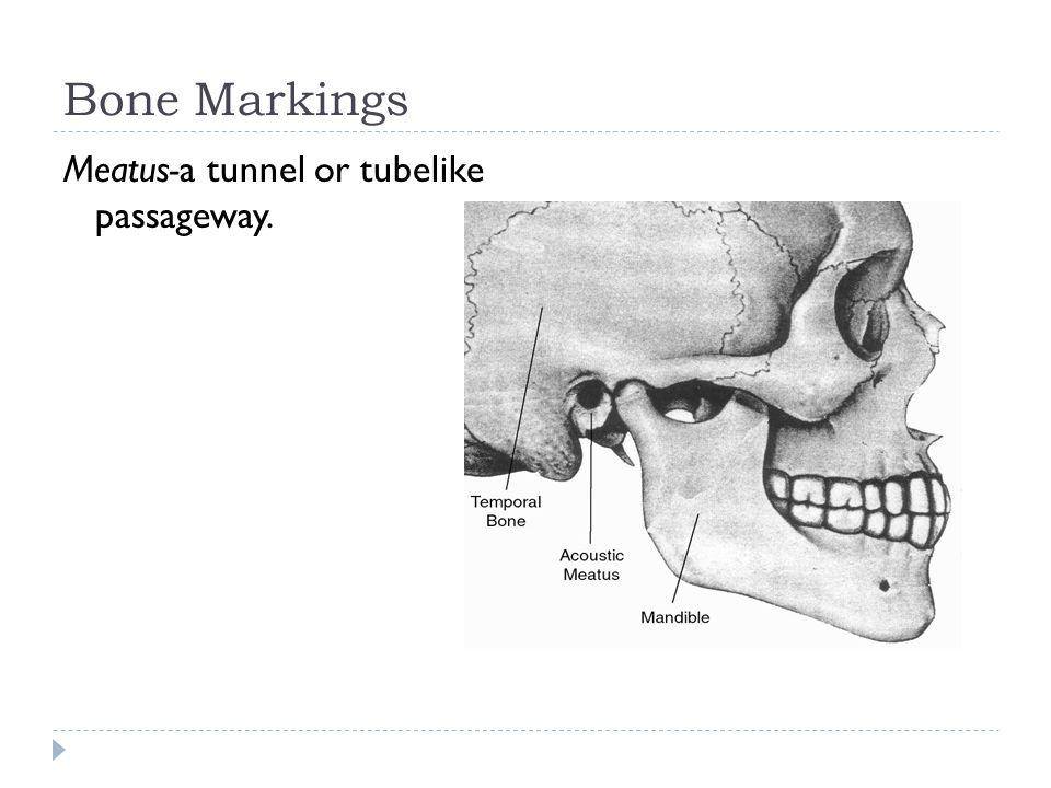 Bone Markings Meatus-a tunnel or tubelike passageway.