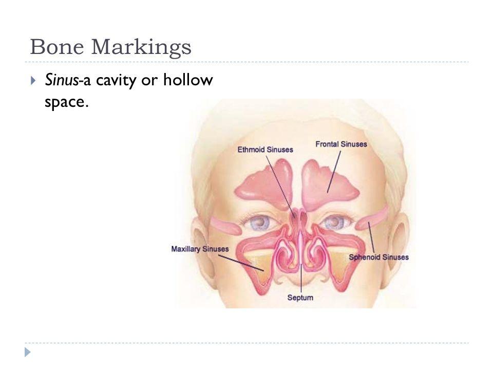 Bone Markings  Sinus-a cavity or hollow space.