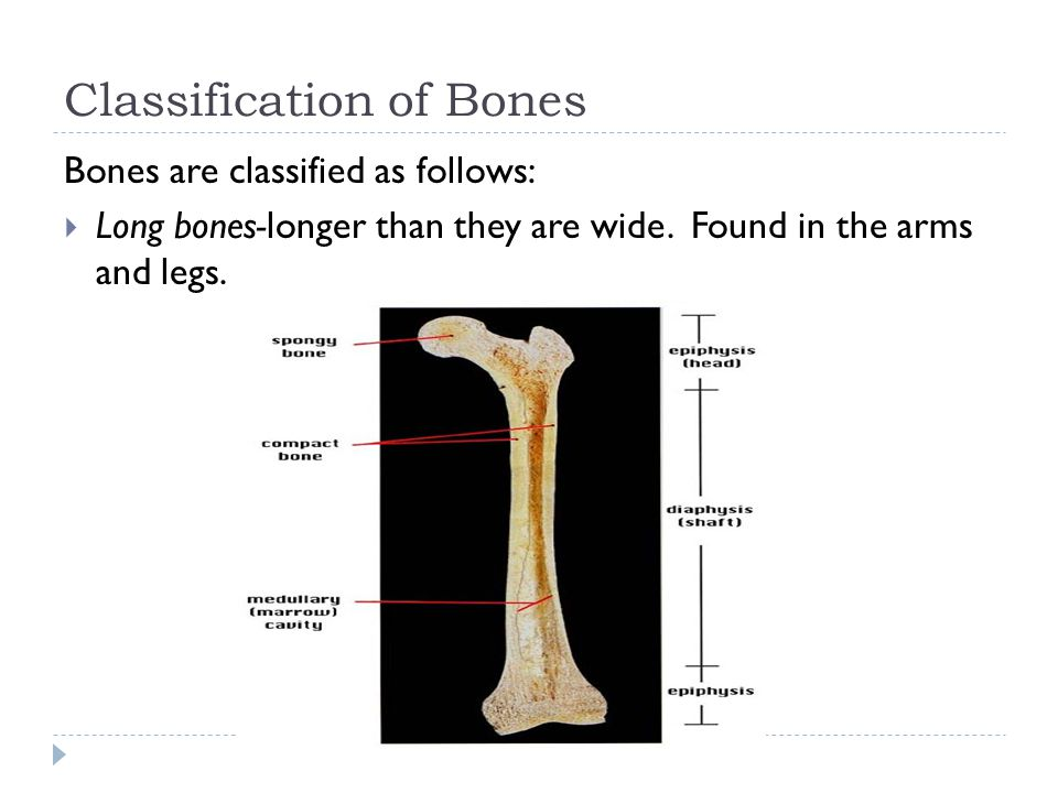 Growing Bones  Longitudinal bone growth ceases when the epiphyseal disc becomes ossified and fused.