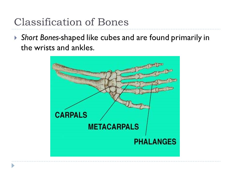 Classification of Bones  Flat Bones-thin, flat, curved. Form the ribs, breastbone and skull.