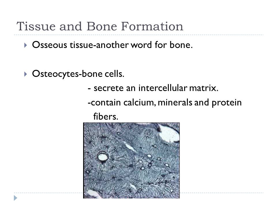 Long bone  Periosteum-tough, fibrous connective tissue membrane that covers the outside of the diaphysis.
