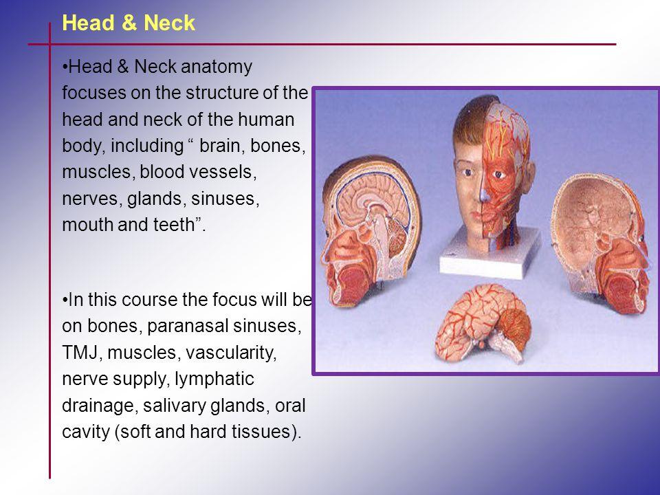 Head & Neck Head & Neck anatomy I- Skull * Bones - Cranium - Facial - Maxilla - Mandible * TMJ * Paranasal sinuses II- Muscles - Cervical - Facial expressions - Muscles of mastication - Hyoid muscles - Tongue - Soft Palate & pharynx