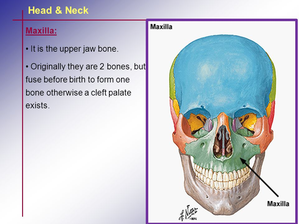 Maxilla: It is the upper jaw bone. Originally they are 2 bones, but fuse before birth to form one bone otherwise a cleft palate exists.