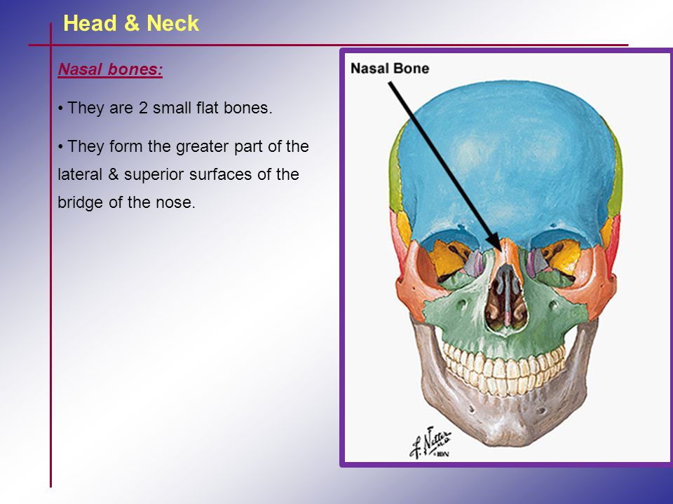 Head & Neck Nasal bones: They are 2 small flat bones. They form the greater part of the lateral & superior surfaces of the bridge of the nose.
