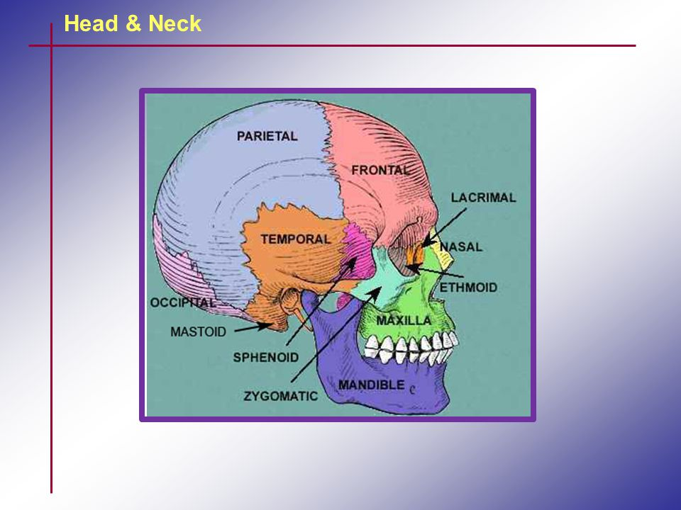 Head & Neck TMJ The joint has an intra-articular disc.