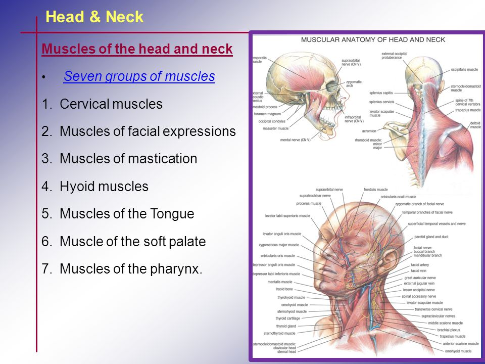 Head & Neck Muscles of the head and neck Seven groups of muscles 1.Cervical muscles 2.Muscles of facial expressions 3.Muscles of mastication 4.Hyoid m