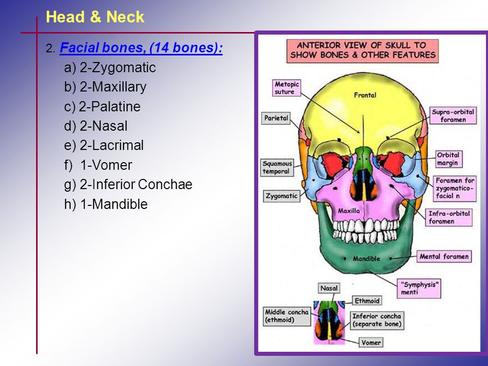 Head & Neck Mentalis muscle: Raises & wrinkles the skin of the chin & pushes up the lower lip Zygomatic major muscle: Draws the angles of the mouth upwards & backwards, as in laughing.