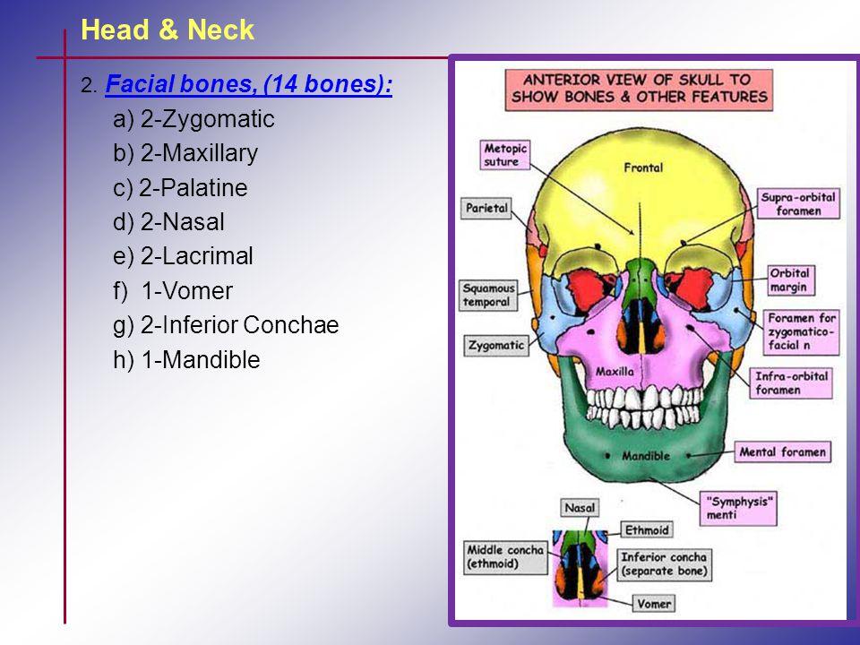 2. Facial bones, (14 bones): a) 2-Zygomatic b) 2-Maxillary c) 2-Palatine d) 2-Nasal e) 2-Lacrimal f) 1-Vomer g) 2-Inferior Conchae h) 1-Mandible