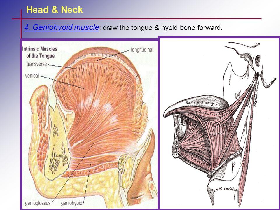 Head & Neck 4. Geniohyoid muscle : draw the tongue & hyoid bone forward.