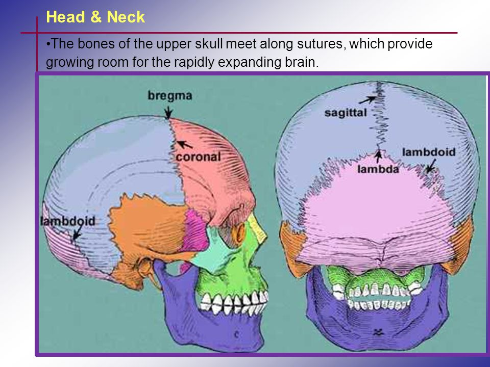 Head & Neck The sinuses are named for the bones in which they are located.