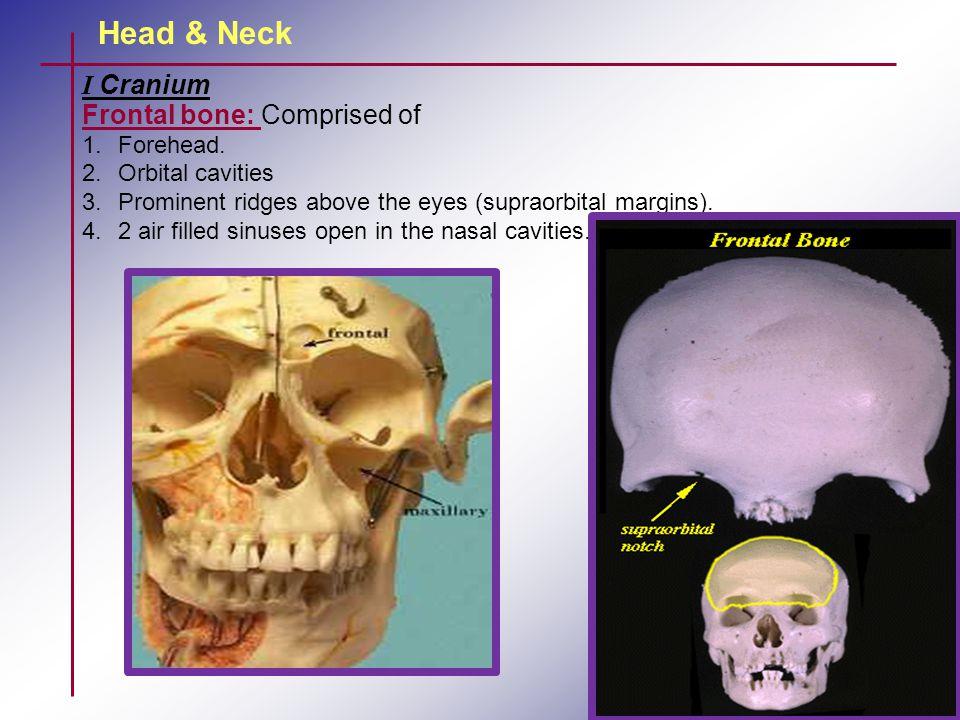 Head & Neck I Cranium Frontal bone: Comprised of 1.Forehead. 2.Orbital cavities 3.Prominent ridges above the eyes (supraorbital margins). 4.2 air fill