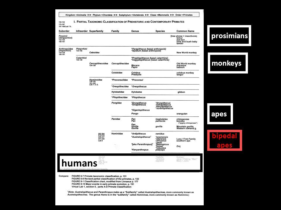 humans prosimians monkeys apes bipedal apes