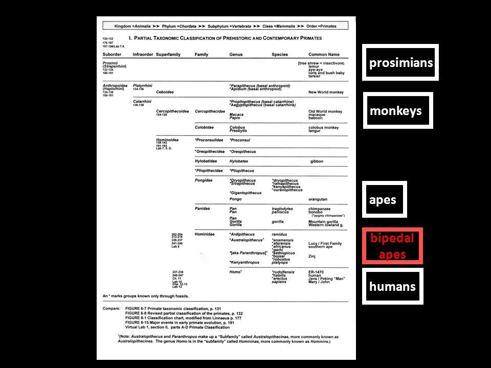 prosimians monkeys apes humans bipedal apes