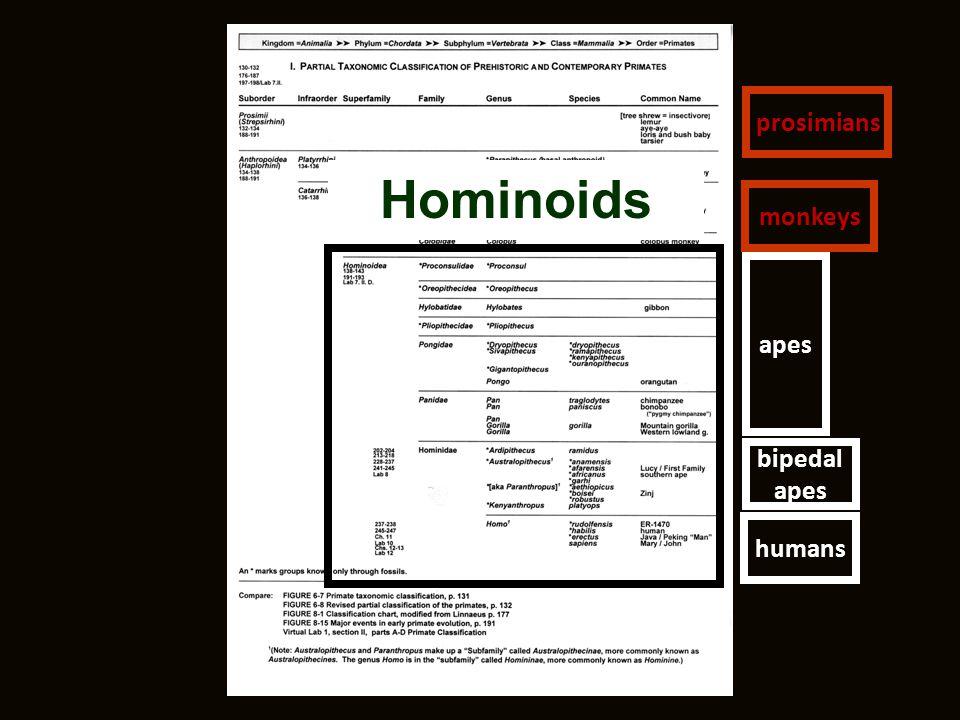 Hominoids humans bipedal apes prosimians monkeys