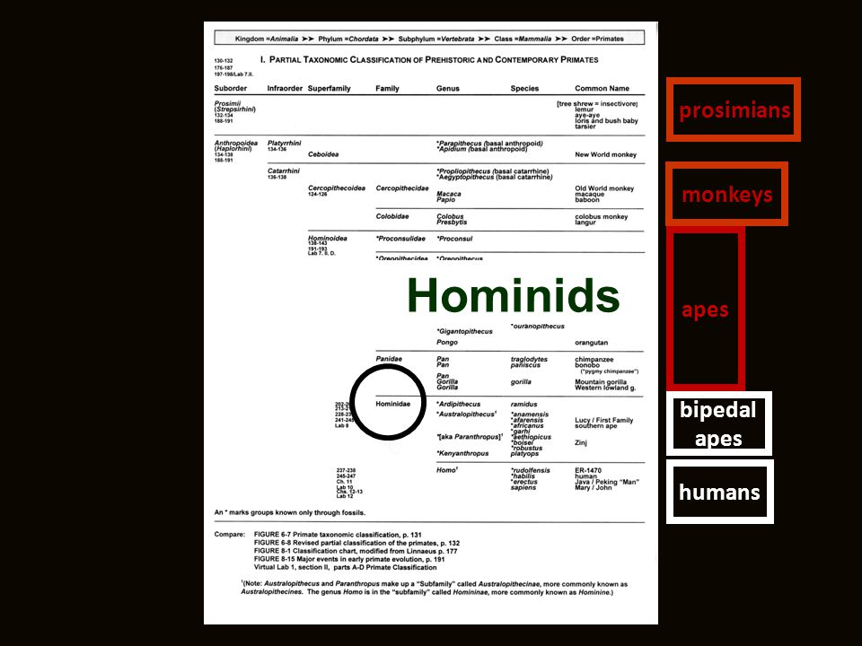Hominids humans bipedal apes prosimians monkeys apes
