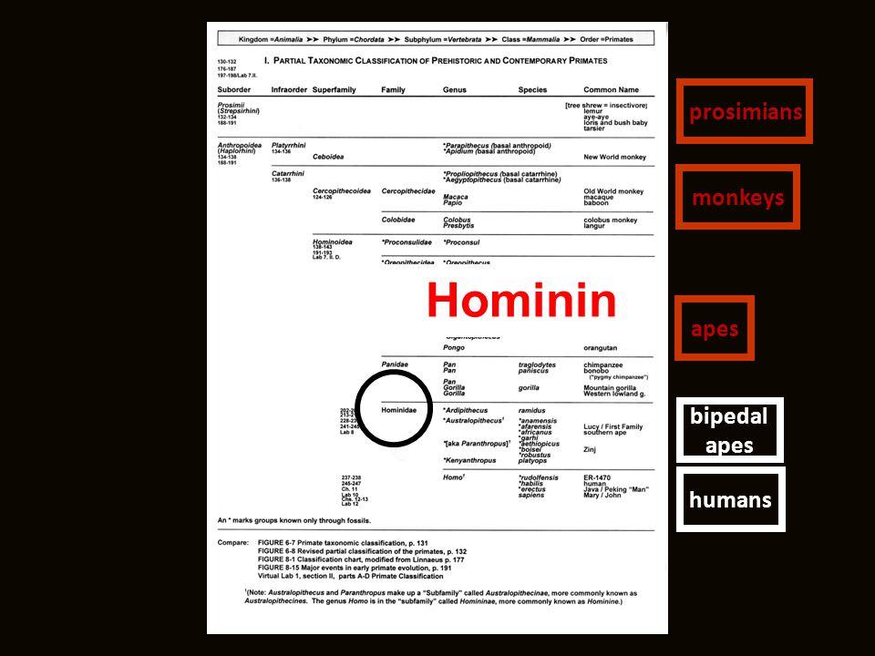 Hominin humans bipedal apes prosimians monkeys apes