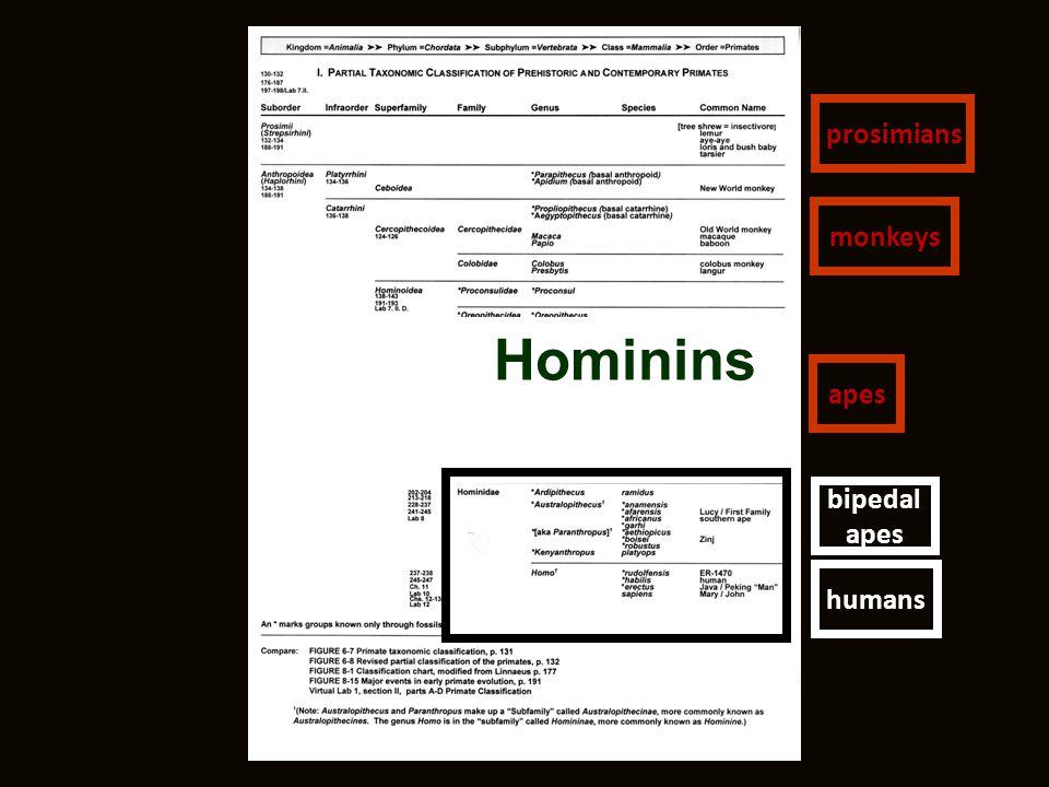Hominins humans prosimians monkeys apes bipedal apes