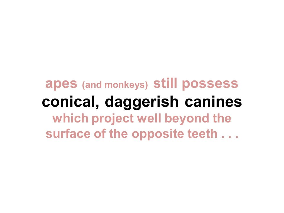 apes (and monkeys) still possess conical, daggerish canines which project well beyond the surface of the opposite teeth...