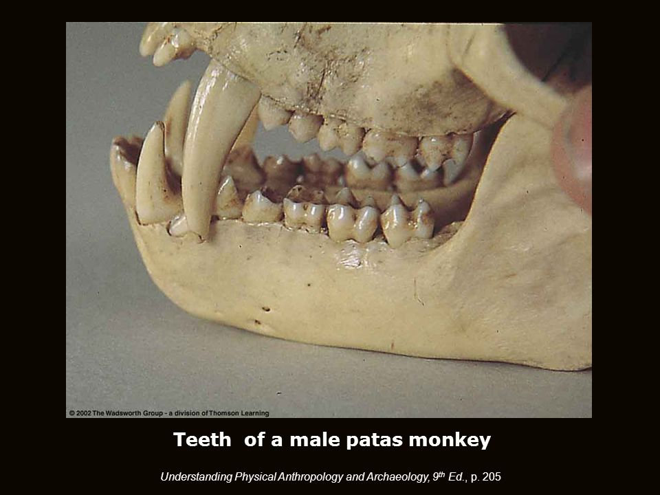Teeth of a male patas monkey Understanding Physical Anthropology and Archaeology, 9 th Ed., p. 205
