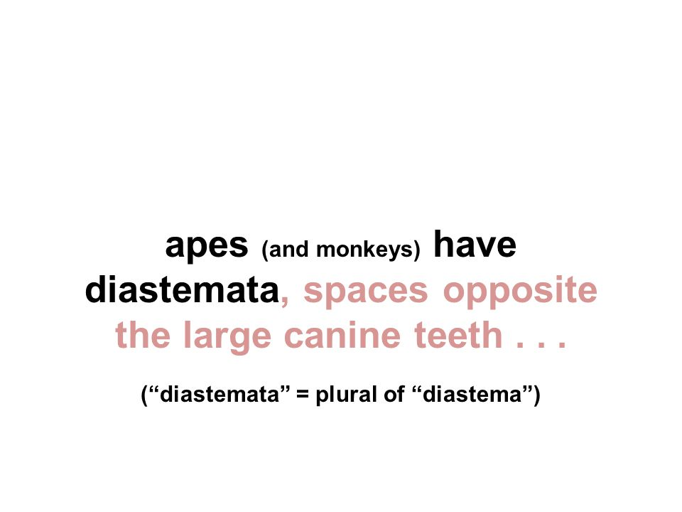 apes (and monkeys) have diastemata, spaces opposite the large canine teeth...