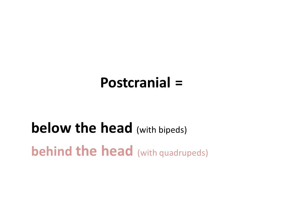 Postcranial = below the head (with bipeds) behind the head (with quadrupeds)