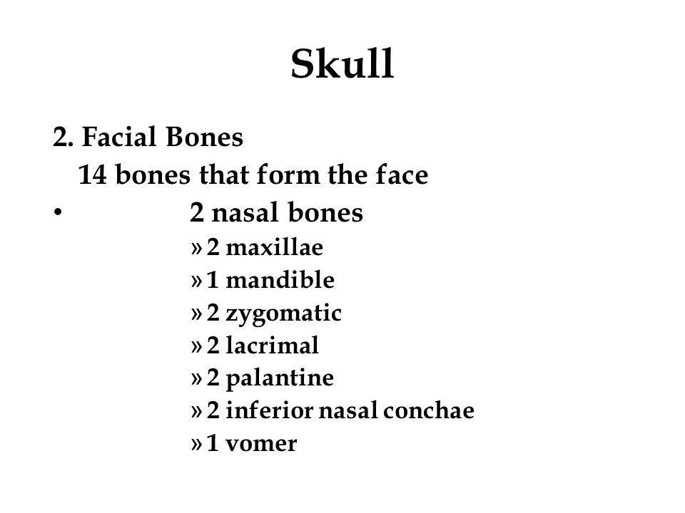 Skull 2. Facial Bones 14 bones that form the face 2 nasal bones » 2 maxillae » 1 mandible » 2 zygomatic » 2 lacrimal » 2 palantine » 2 inferior nasal