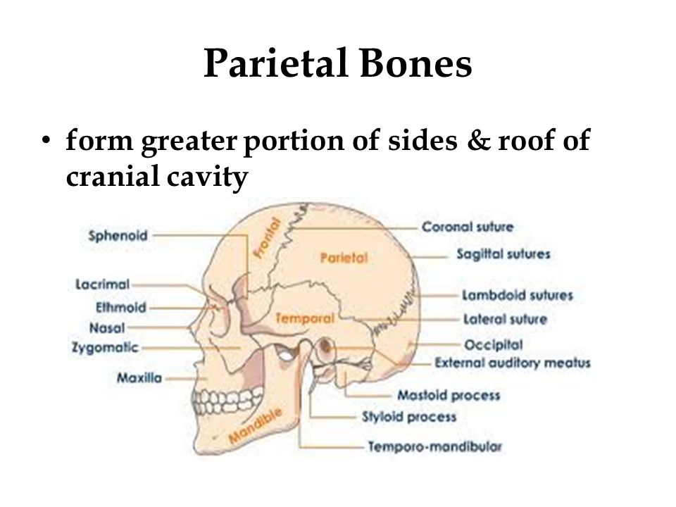 Parietal Bones form greater portion of sides & roof of cranial cavity
