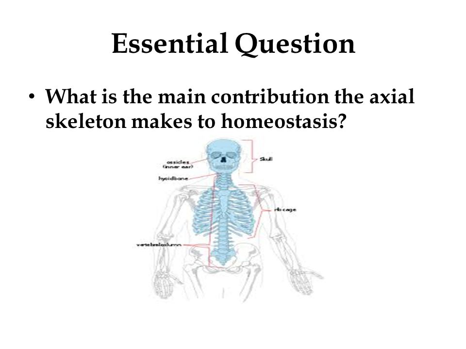 Essential Question What is the main contribution the axial skeleton makes to homeostasis?