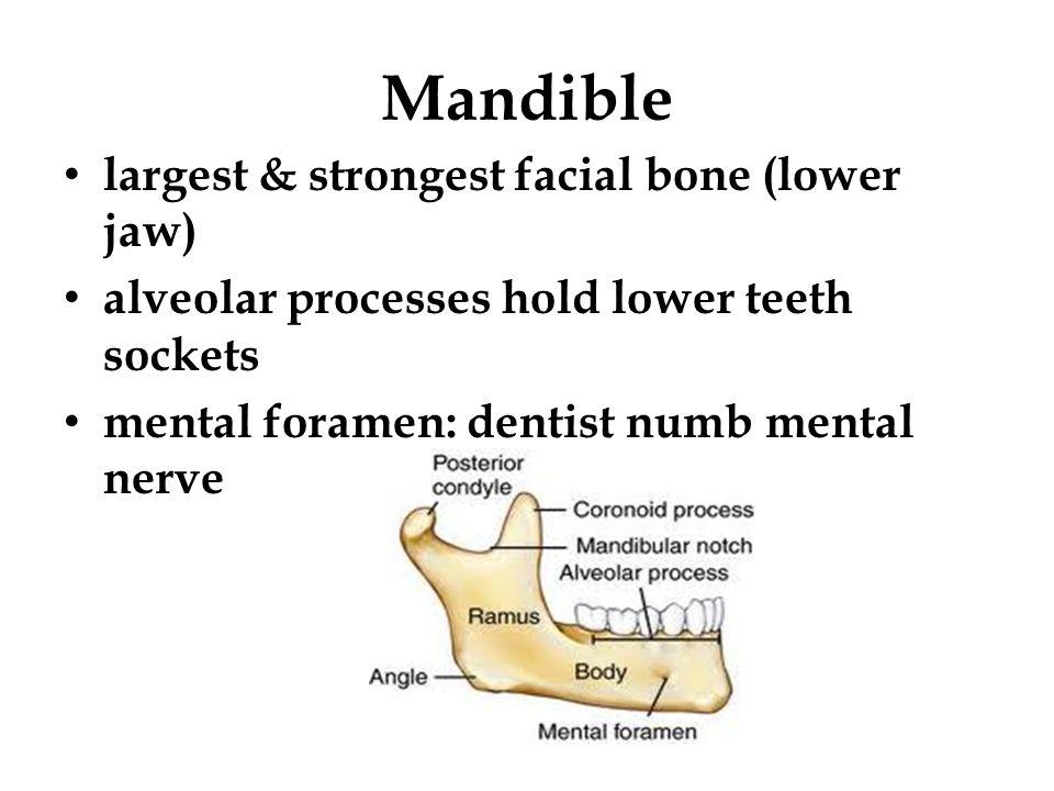 Mandible largest & strongest facial bone (lower jaw) alveolar processes hold lower teeth sockets mental foramen: dentist numb mental nerve