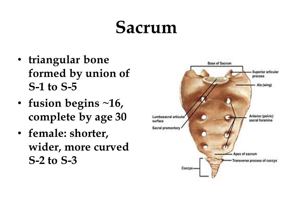 Sacrum triangular bone formed by union of S-1 to S-5 fusion begins ~16, complete by age 30 female: shorter, wider, more curved S-2 to S-3