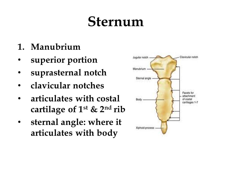 Sternum 1.Manubrium superior portion suprasternal notch clavicular notches articulates with costal cartilage of 1 st & 2 nd rib sternal angle: where i